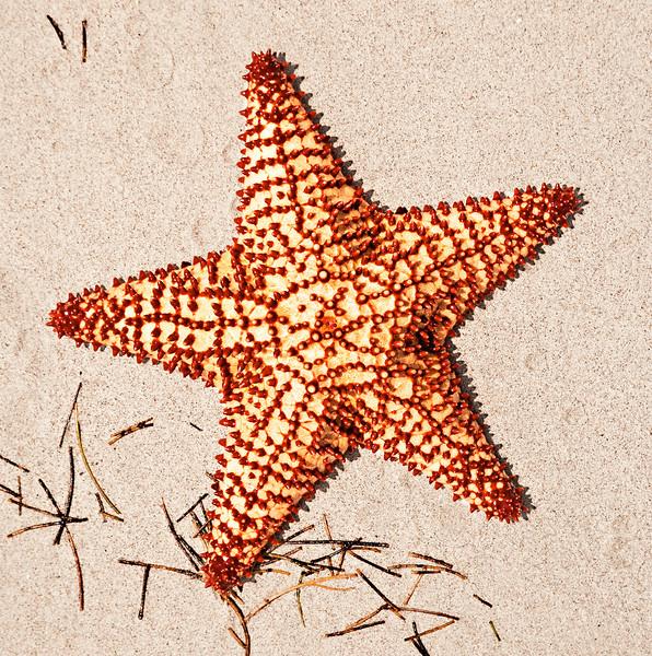 Beach Starfish_40701-14_Ted Davis_310_430_2639
