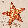 Beach Starfish_40701-14_Ted Davis_310_430_2639