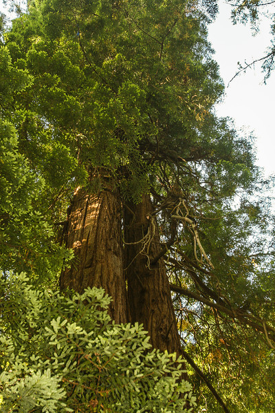 Redwood Trunks- Muir Woods