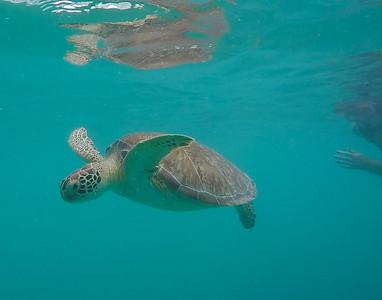 Green turtle in St Maarten