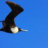 Frigate bird above Huatulco