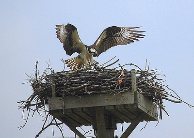 Osprey on the Nanticoke