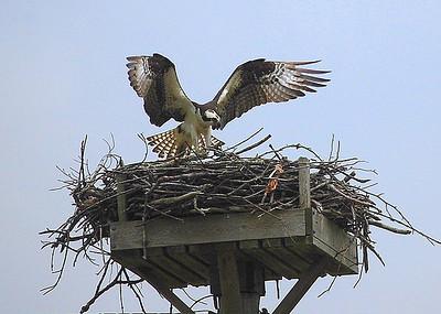 Osprey on the Nanticoke