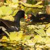 Moor Hen with Chick