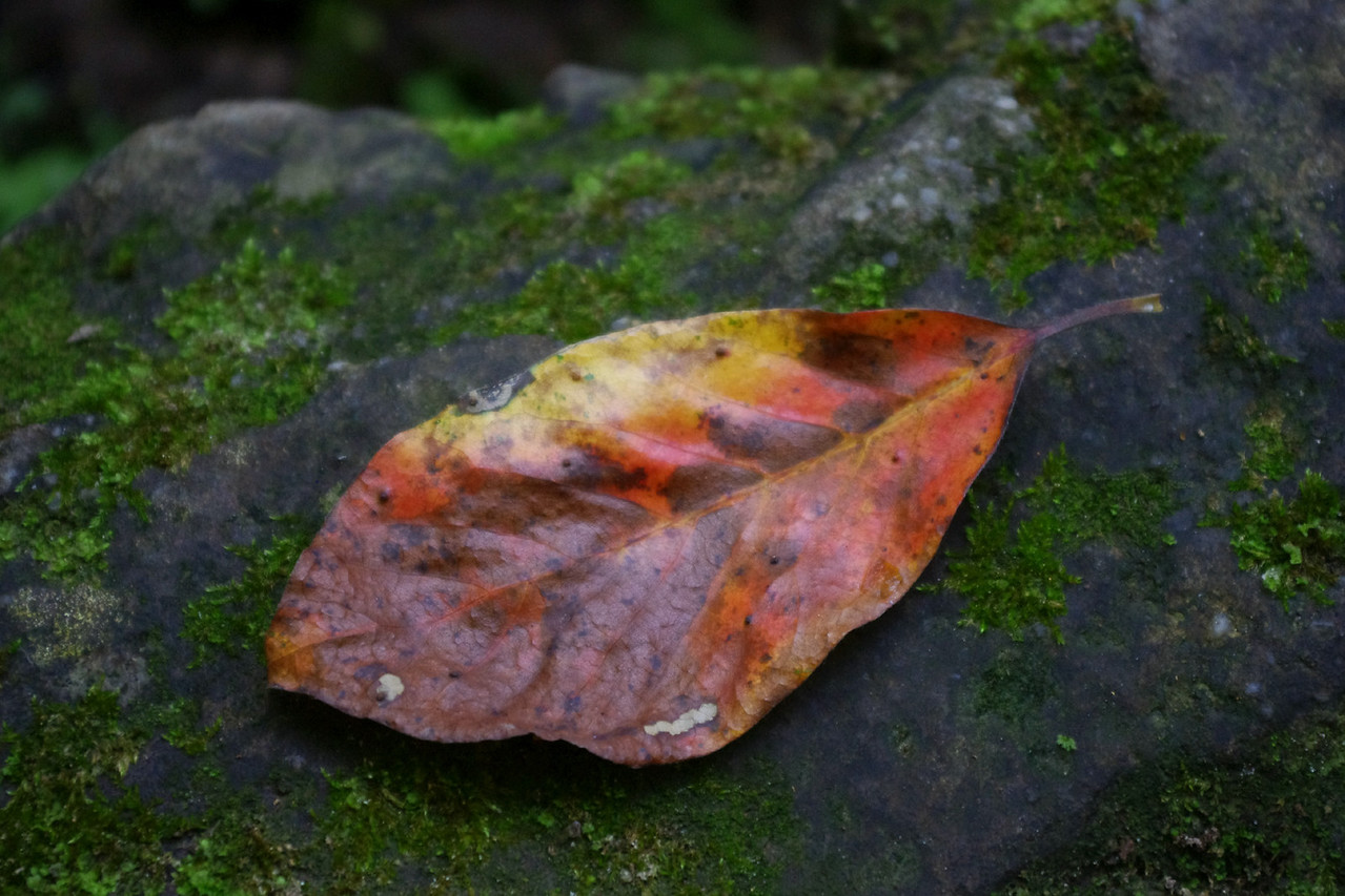 Red leaf on a mossy rock. Pickle Springs Natural Area near Saint Genevieve, Missouri.