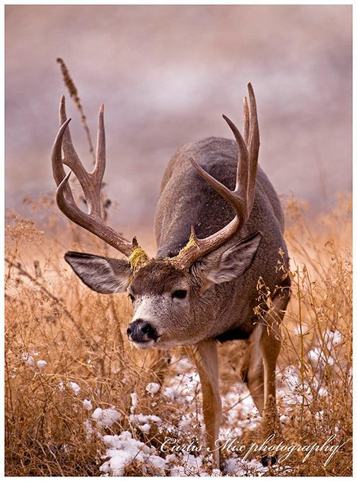 A buck follows a doe during the rut.