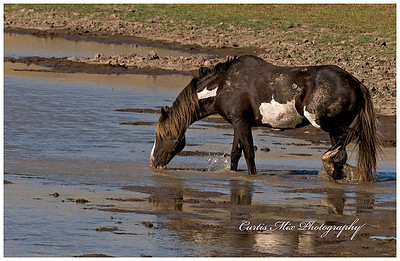 Stallion.