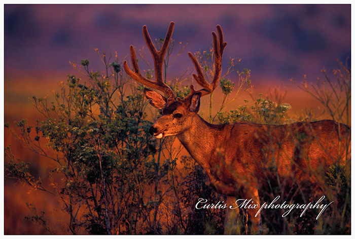 Wildfire sunrise. A lightning strike caused a wildfire on the hill just to the left of the image. In the morning the valley was dead calm and filled with smoke. It looked ugly. When the sun first came up it cast a rose colored tint on this deer. The morning looked bad, but turned out good!
