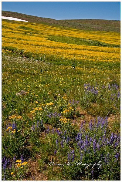 These wild flowers are at around 9000 feet elevation on Steens Mountain. There is still snow in late August.