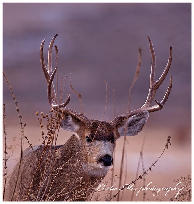 A mule deer looks on through the weeds.