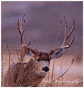 A mule deer looks on through the weeds.
