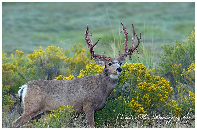 Mule deer buck in the rabbit brush.