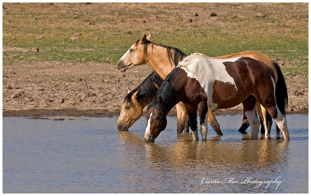 Wild Mustangs at the water hole.
