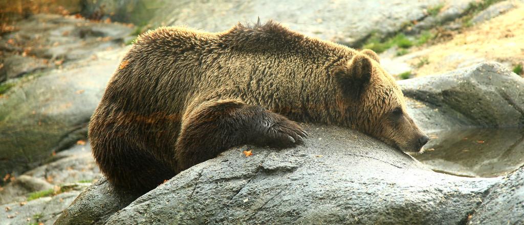 Bear in Skansen, Stockholm