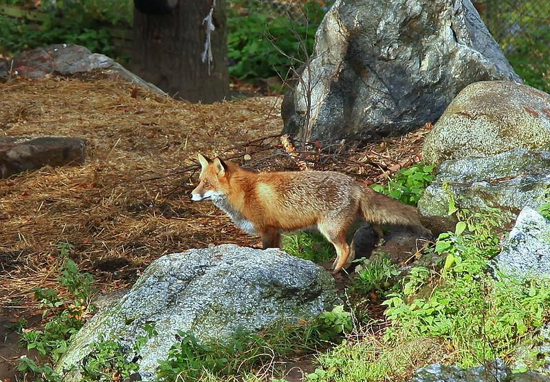 Fox in Skansen, Stockholm