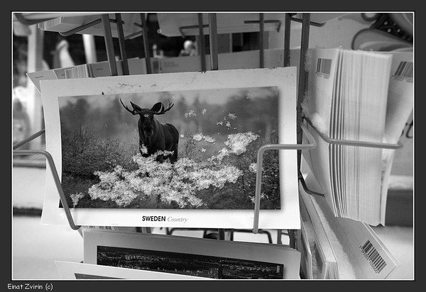 Note that the snow is ON the postcard, not IN the moose's photo