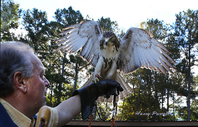 Falconer Bill Mixon with his Red tailed  hawk.