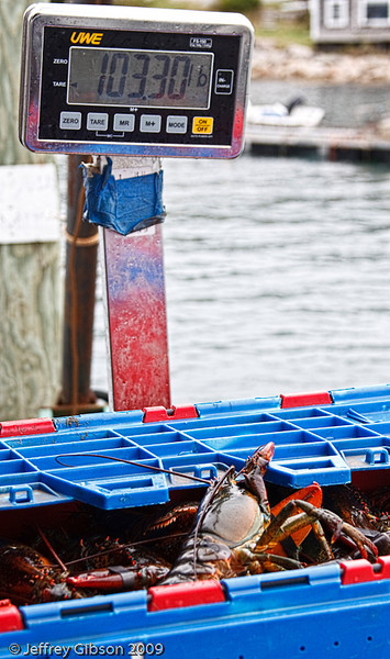 IMAGE 8: Each crate is then weighed.  Here is a crate that has 103 pounds of lobster.  This particular boat had three of these crates. It is not uncommon for one boat to have a daily catch of 5000 pounds of lobster.  Each boat is permitted a license for 800 traps.