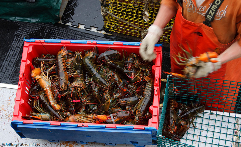 IMAGE 7: Once the lobster boat pulls up to the weighing station, the lobsters are transferred from the traps to these crates.