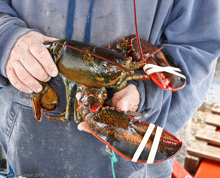 IMAGE 9: Jim holds up a four pound lobster.  The bands on the claws are placed at the time of the catch. They get about $3.00 per pound now.  Several years ago, they were getting about $5.50/pound.  Think of this the next time you get a lobster at a restaurant.<br /> Jim told me his son made $150,000 three years ago, but will be lucky to clear $50,000 this year due to the economy.