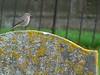 Redstart in Evesham