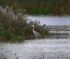 Grey heron in Snitterfield
