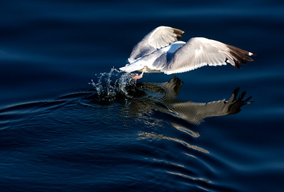 The Canal is rich in aviafauna.   A gull takes off as we approach ...