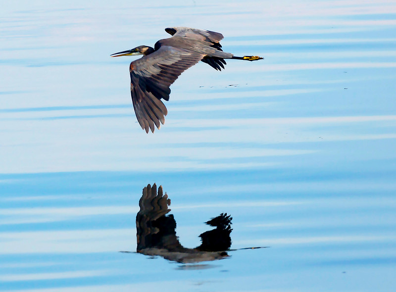 A Great Blue Heron skims the water ...