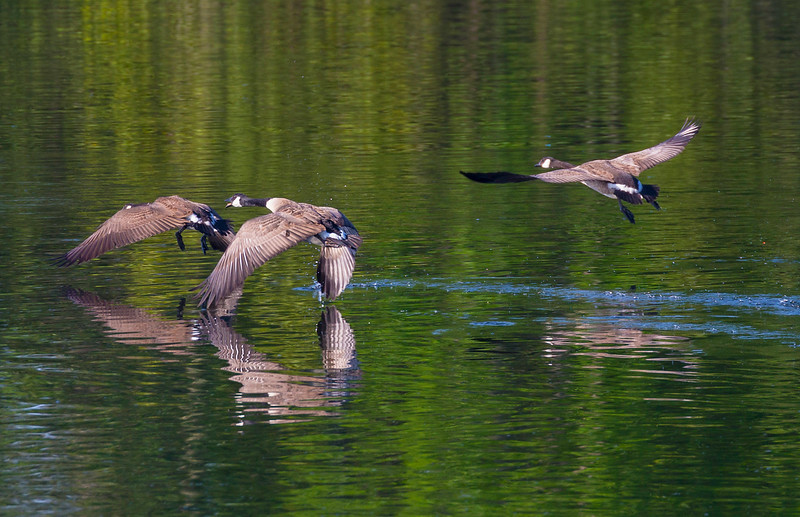 Three Canada Geese fly past ...