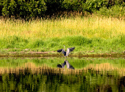 A Great Blue Heron lands at the Canal's edge.