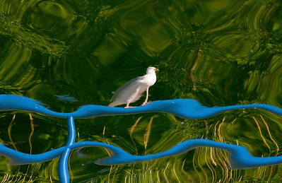 Reflection of a gull on a blue railing