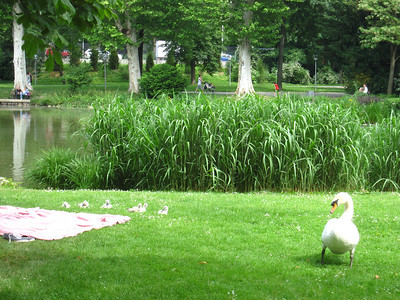 Baby swans!  The adult swans drove a person off of the blanket shown in the photo.  They were pretty vicious.