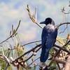 Jungle/Large-billed Crow