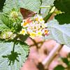 Brown Butterfly on Spanish Flag Lantana