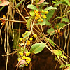 Indian/Nepal Barberry or Chitra