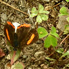 Sunbeam Butterfly?