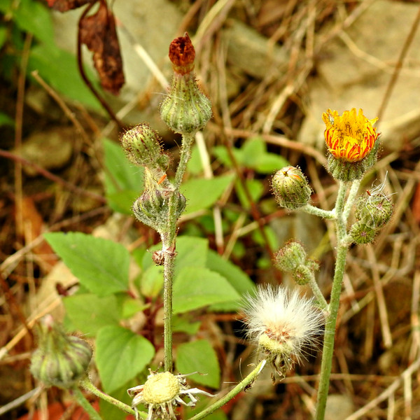 Wight's Sow-thistle