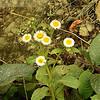 Vein-leaf Inula