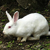 Domestic Rabbit - albino