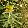 Cotton Weed/Jersey Cudweed
