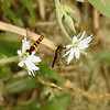 Hoverflies on Mouse-ear Chickweed