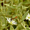 Hoverfly on Mouse-ear Chickweed