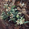 White-flowered Fleabane