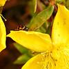 Harlequin Ladybird Beetle on Hooker's St. John's Wort