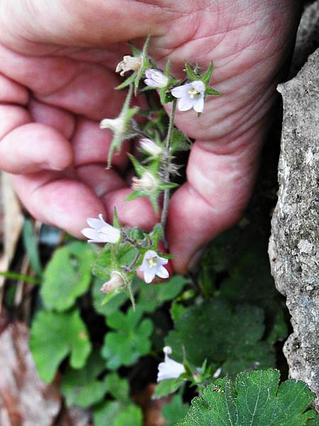 Pale Bellflower