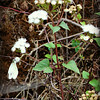 Goat Weed with White Butterfly