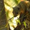 Orange-bellied Himalayan Squirrel