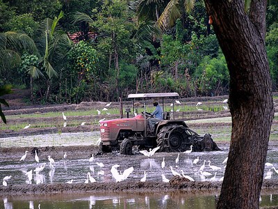 Egrets in rice paddy