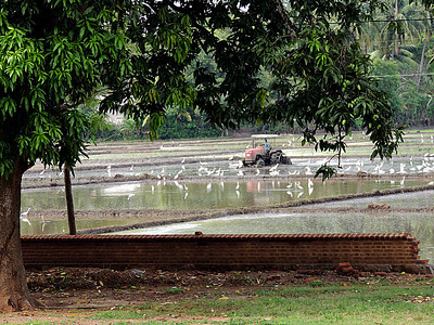 Rice Paddy with Egrets