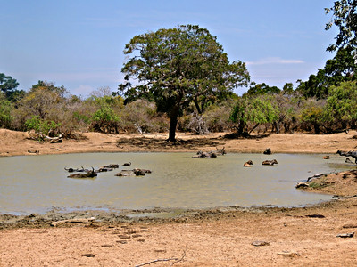 Pond with Wild Asian Water Buffalo